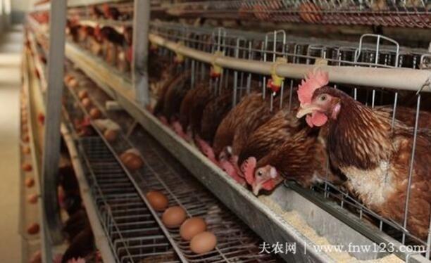蛋鸡产小蛋怎以办,四项防治措施让小蛋变大