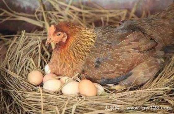 提高蛋鸡产蛋率的几个小妙招