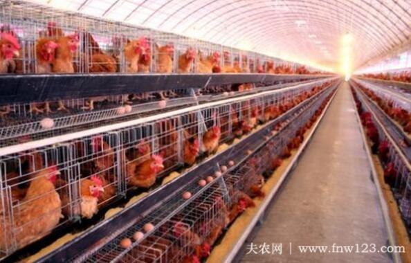 无鱼粉饲养蛋鸡日粮,少花钱,多下蛋(图3)