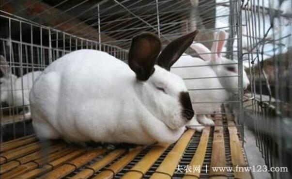 分辨兔子软骨病的方法(图1)