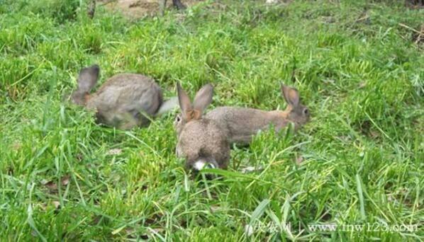 兔子软骨病防治关键,营养要加餐,餐后多运动(图)