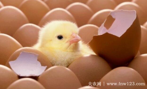 鸡蛋孵化的四个环节,温度与湿度最关键(图)
