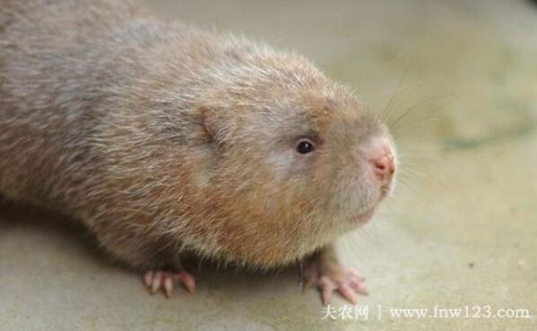 竹鼠的生长特点总结