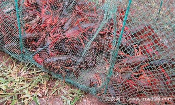 适合小龙虾生长的最高最低温度
