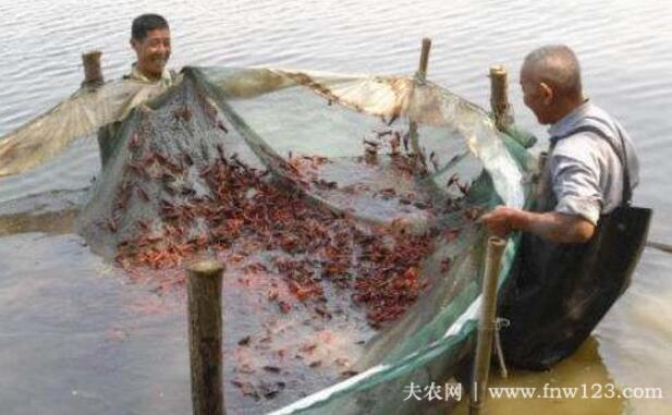 小龙虾吃什么饲料