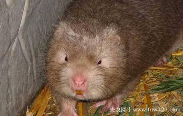竹鼠的配合饲料种类与配比(图)