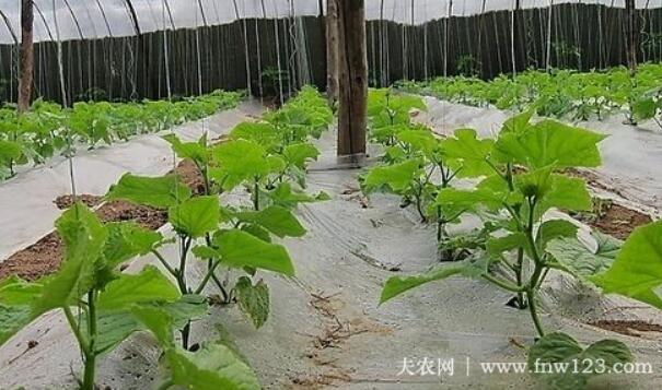 早春茬黄瓜定植时间