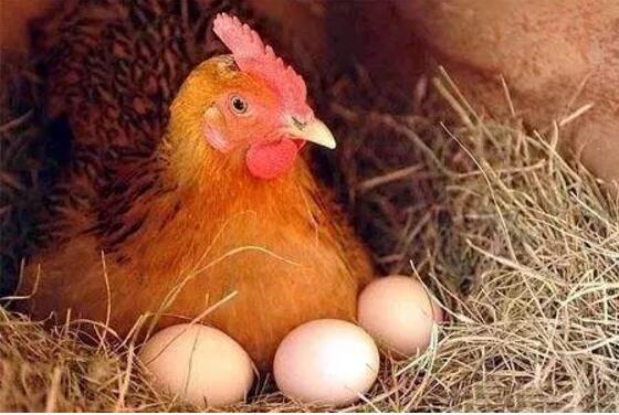 母鸡不下蛋怎么办,会这几招,保证母鸡利索下蛋(图1)