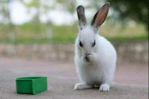 兔子便秘怎么办,少花钱治兔子便秘的方法