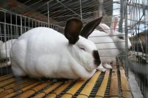 分辨兔子软骨病的方法