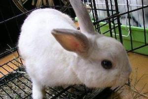 兔子得了臌气症怎么办,防治并举治好兔子臌气