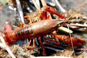 小龙虾养殖的投饵要点