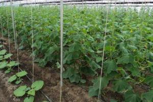 黄瓜播种期的确定方法