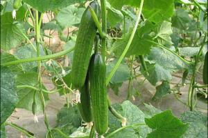 早春茬黄瓜定植的注意事项