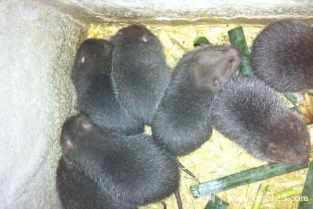 养殖竹鼠的常见问题(2)