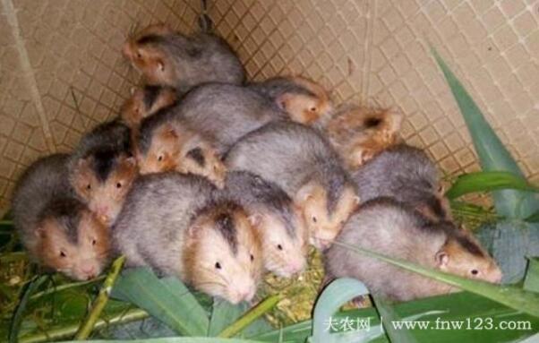 竹鼠群养的几点注意事项(图3)