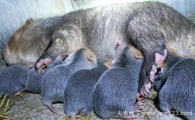 竹鼠产后脱宫的注意事项(图2)