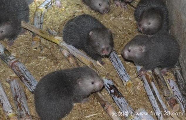 竹鼠中暑的防治方法(图2)