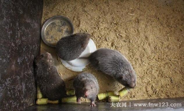 竹鼠感冒的防治方法(图3)