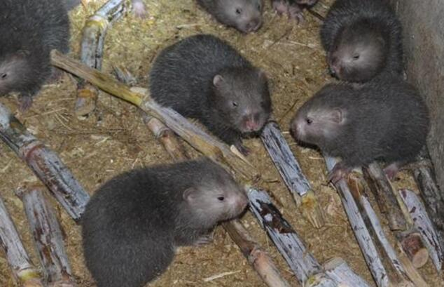 竹鼠感冒的防治方法(图4)