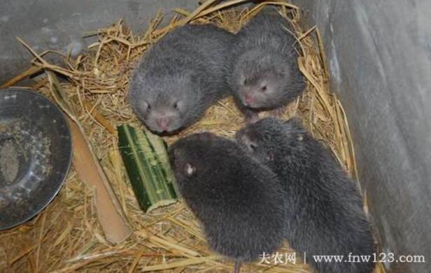 竹鼠感冒怎么办,养竹鼠防治感冒的方法(3)