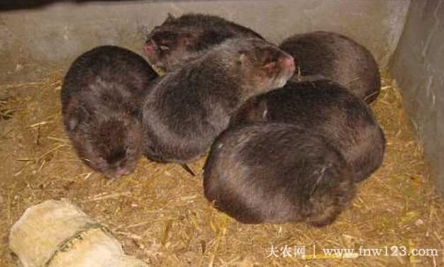 养竹鼠常备药物,竹鼠生病及时治疗(图1)