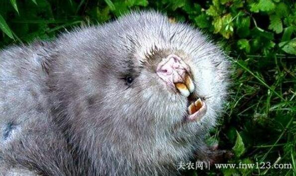 竹鼠出现白牙怎么办,多磨牙多补钙准没错