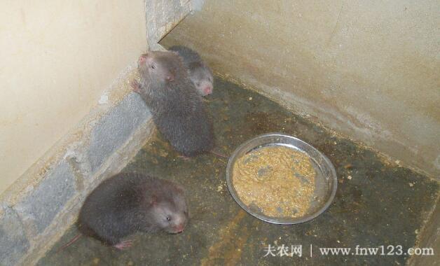 养殖竹鼠赚钱吗,农村竹鼠养殖效益分析(5)