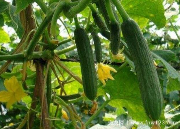 露地黄瓜的栽培方法详解