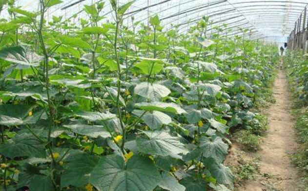 大棚黄瓜的栽培技术详解(图2)