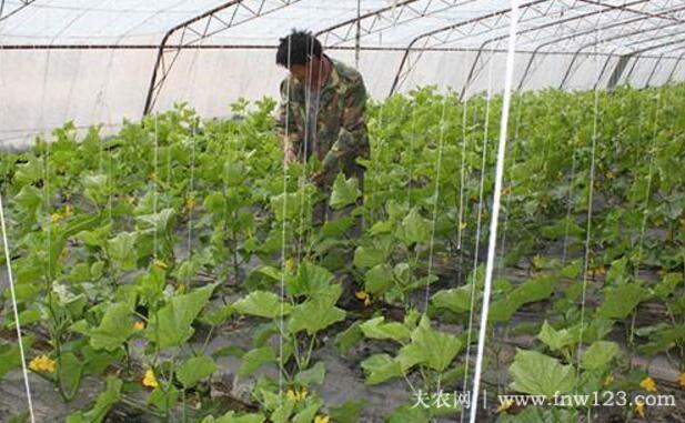 大棚黄瓜的栽培技术详解(图3)