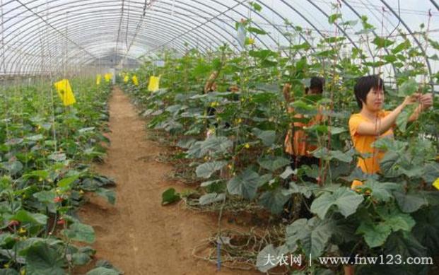 黄瓜落蔓的正确方法,黄瓜落蔓的技术要领(图2)