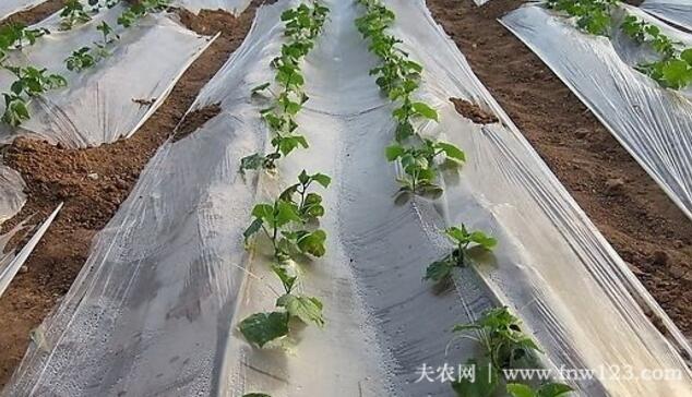 黄瓜种子催芽的方法