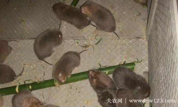 养殖竹鼠赚钱吗,农村竹鼠养殖效益分析(9)