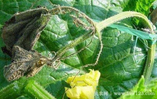 黄瓜蔓枯病的发病症状及治疗方法