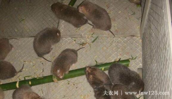 养殖竹鼠赚钱吗,农村竹鼠养殖效益分析(8)