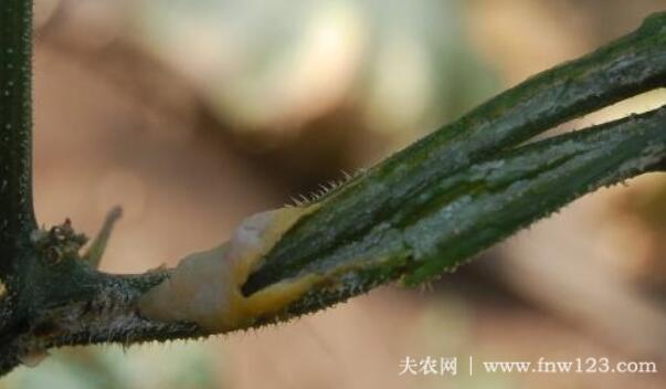 黄瓜茎腐病的症状及防治方法(图1)