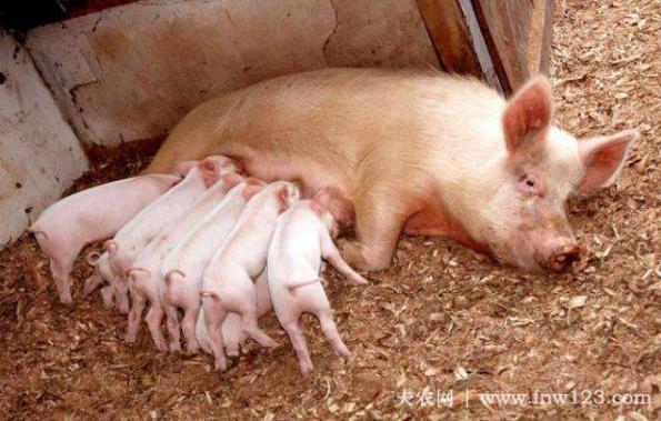 母猪产后瘫痪怎么办,找准病因,及时治疗(图1)