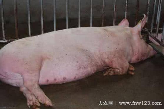 母猪产后瘫痪怎么办,找准病因,及时治疗(图3)