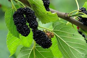 夏季桑葚种植的管理技术