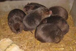 竹鼠拉稀了怎么办,找对拉稀原因及早防治