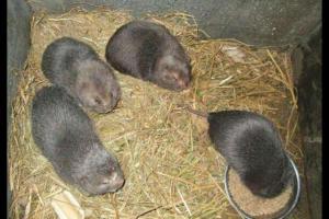 竹鼠市场价格多少钱一斤