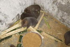 野生竹鼠价格多少钱一斤