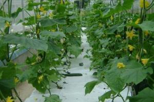 黄瓜常见病害总结,黄瓜常见病害的防治方法