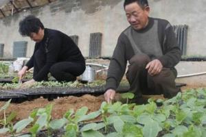 黄瓜播种育苗的技术总结