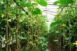温室大棚黄瓜七大品种,种黄瓜必备好品种