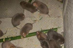 200只竹鼠的利润与成本计算,看准了再投资