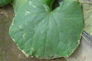 黄瓜焦边叶病的防治方法总结