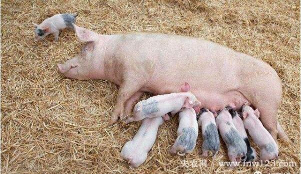 母猪产后不吃食怎么办,母猪产后不食的防治方法