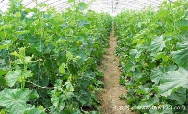 黄瓜最佳种植时间的选择(图2)